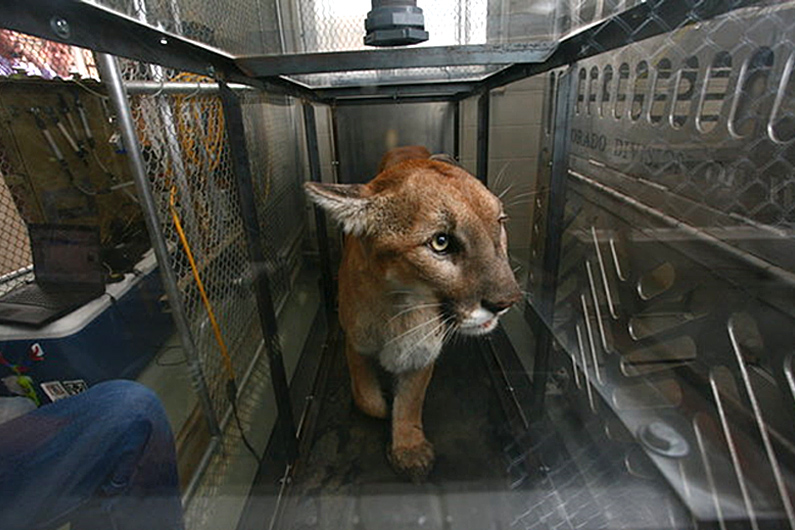 Mountain lion trained to walk in a metabolic chamber on a treadmill for energetic calibrations of the SMART collar (Photo Colorado Parks and Wildlife).