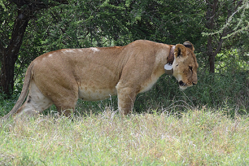 Behavior of a wild female lion wearing the SMART collar is monitored by observers. A diary of these behaviors is then used to match wild activities to accelerometer data recorded by the collar (Photo TM Williams).