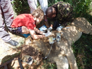 KWS vet working on cleaning the lion's bite wounds and administering antibiotics.